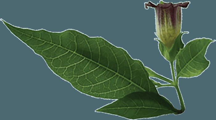 Belladonna Plant